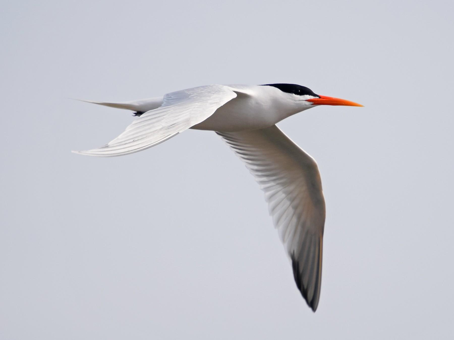 Elegant Tern - Ethan Monk