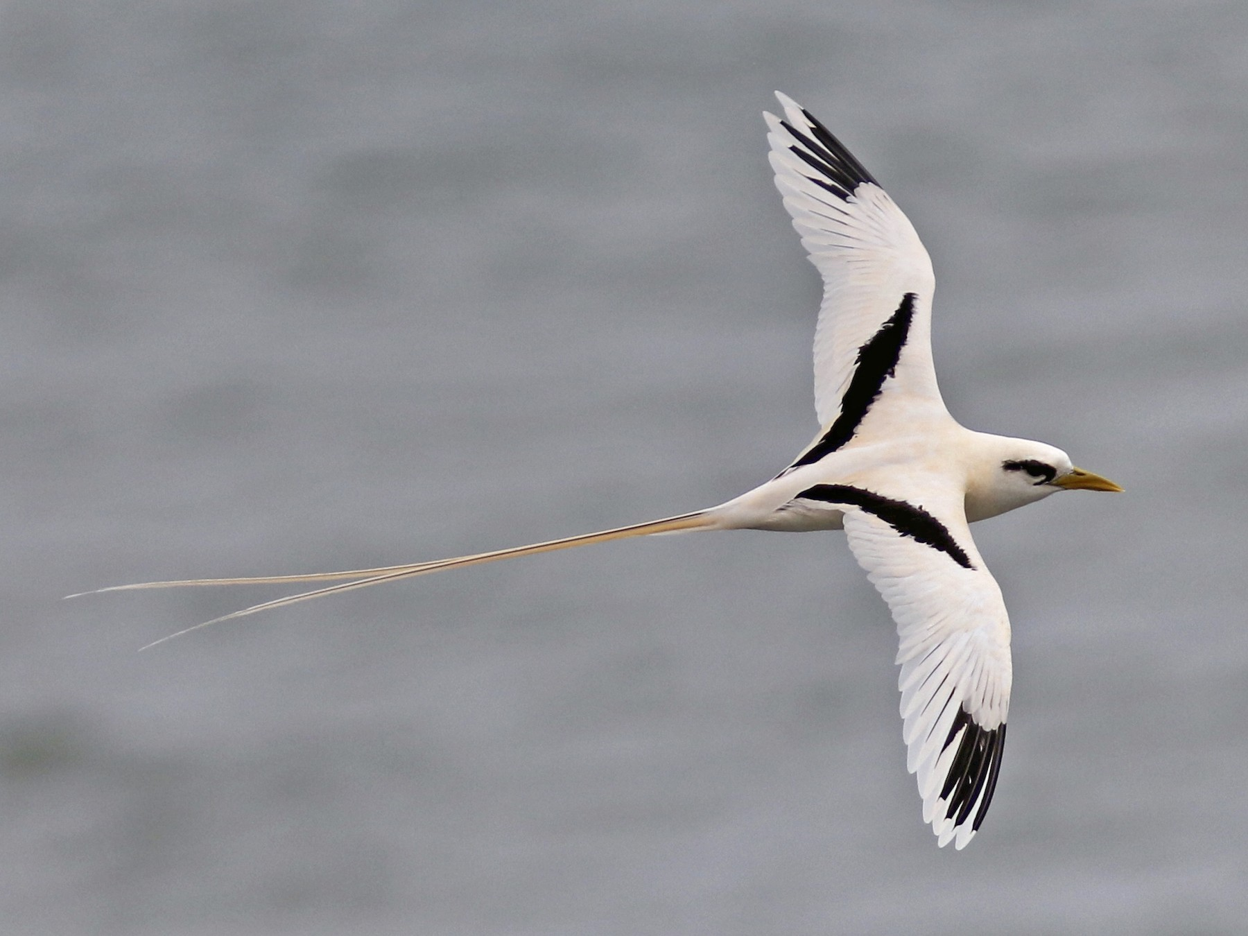 White-tailed Tropicbird - Russ Morgan