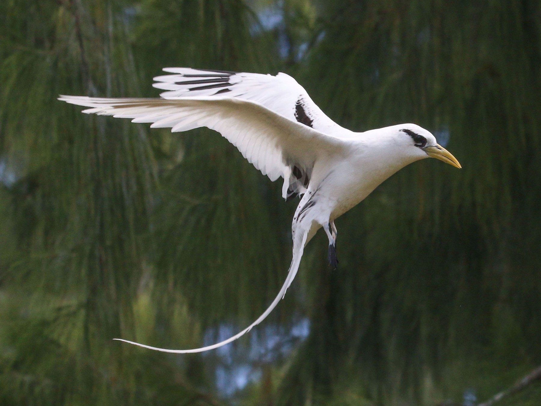 White-tailed Tropicbird - Allison Miller
