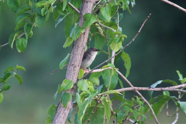 Jungle Prinia vocalizing from perch.