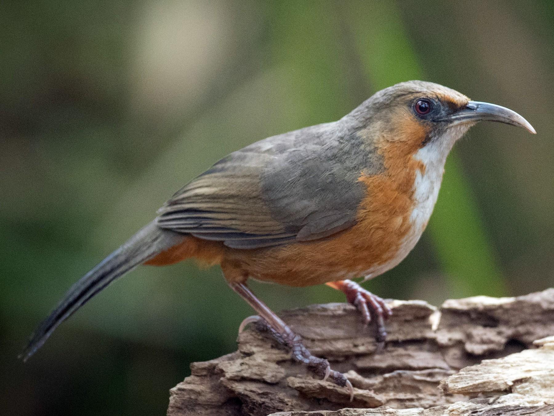 Rusty-cheeked Scimitar-Babbler - Ian Davies