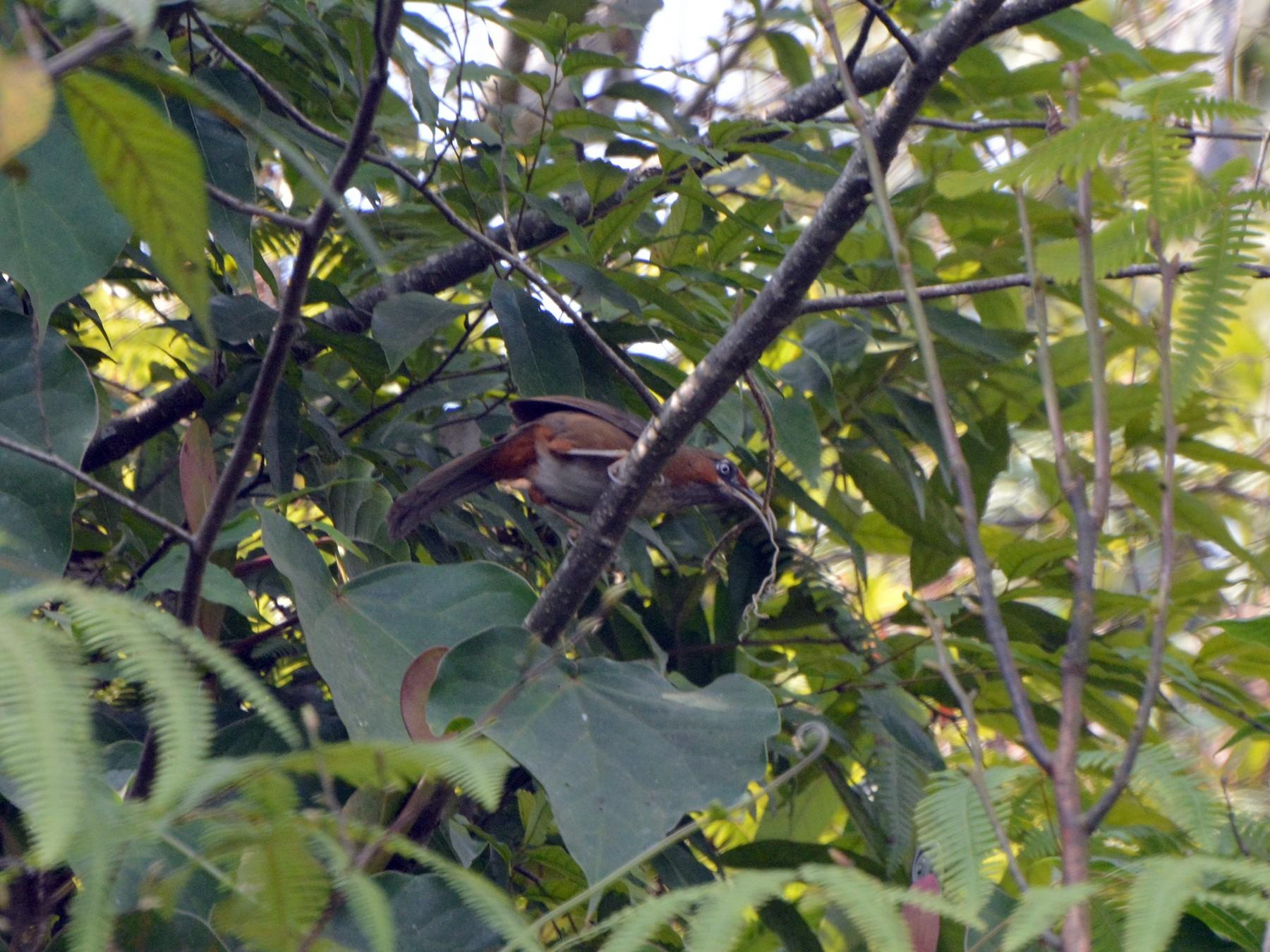 Rusty-cheeked Scimitar-Babbler - Biswanath Mondal