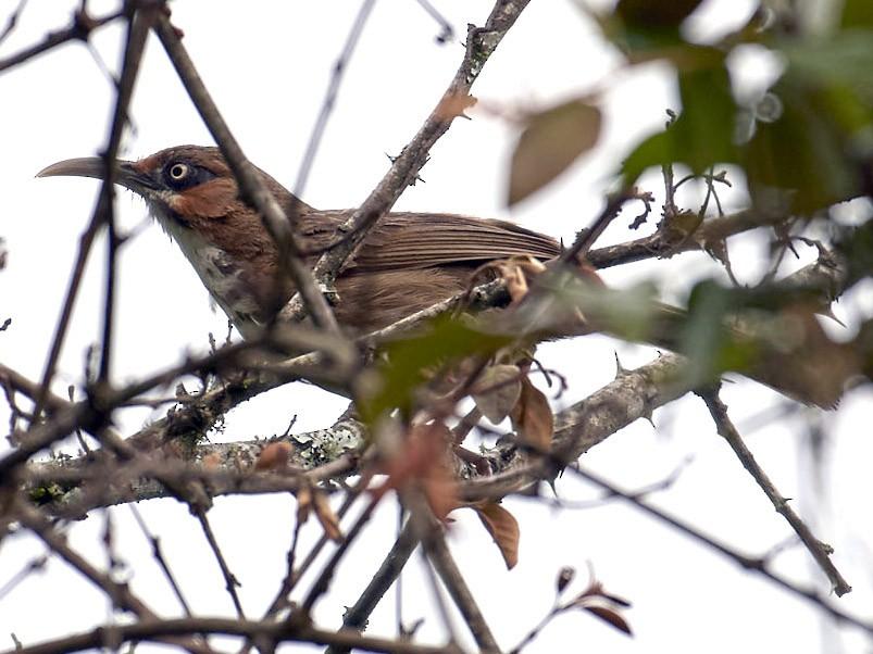 Spot-breasted Scimitar-Babbler - S S Cheema