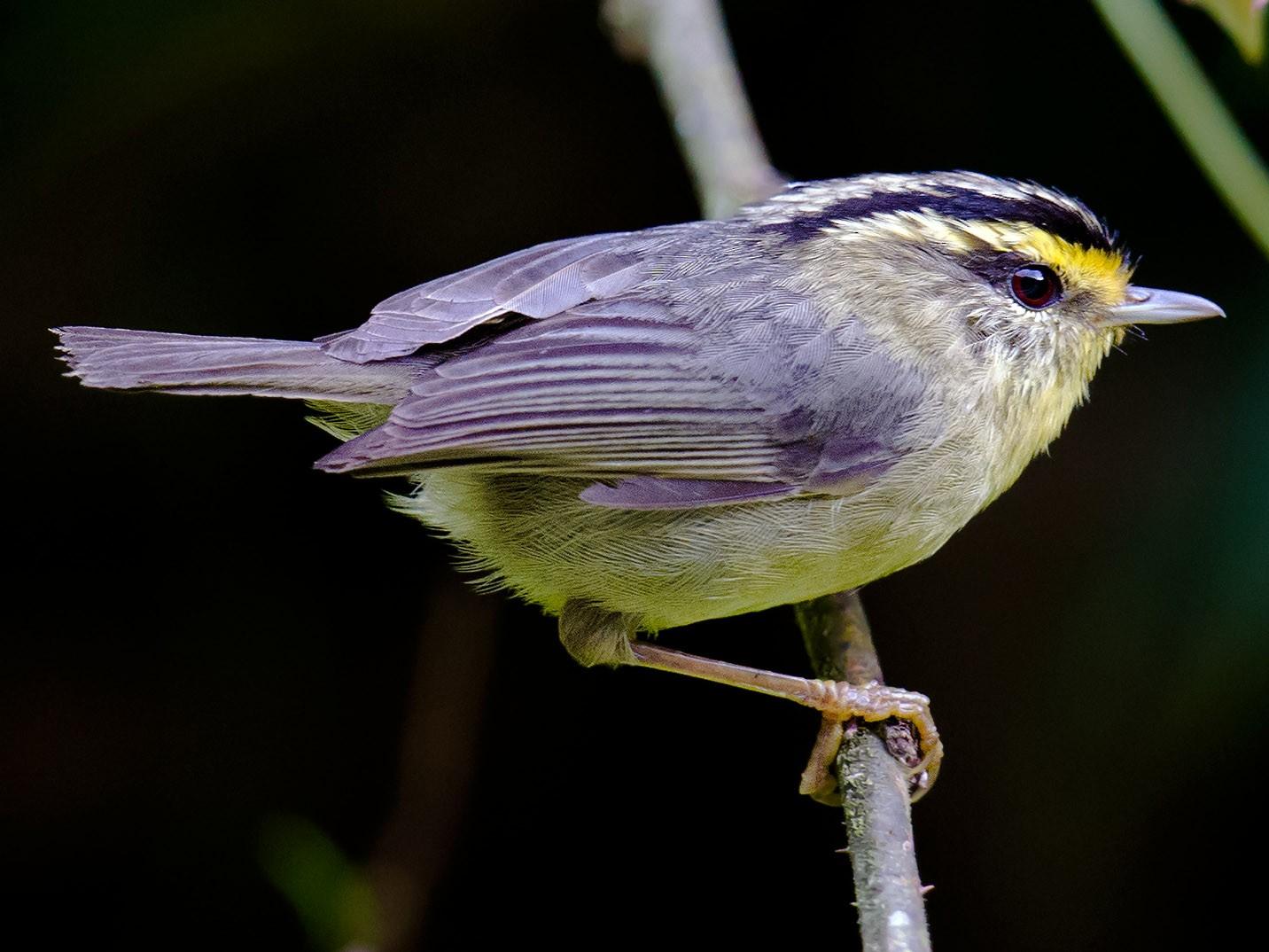Yellow-throated Fulvetta - Craig Brelsford