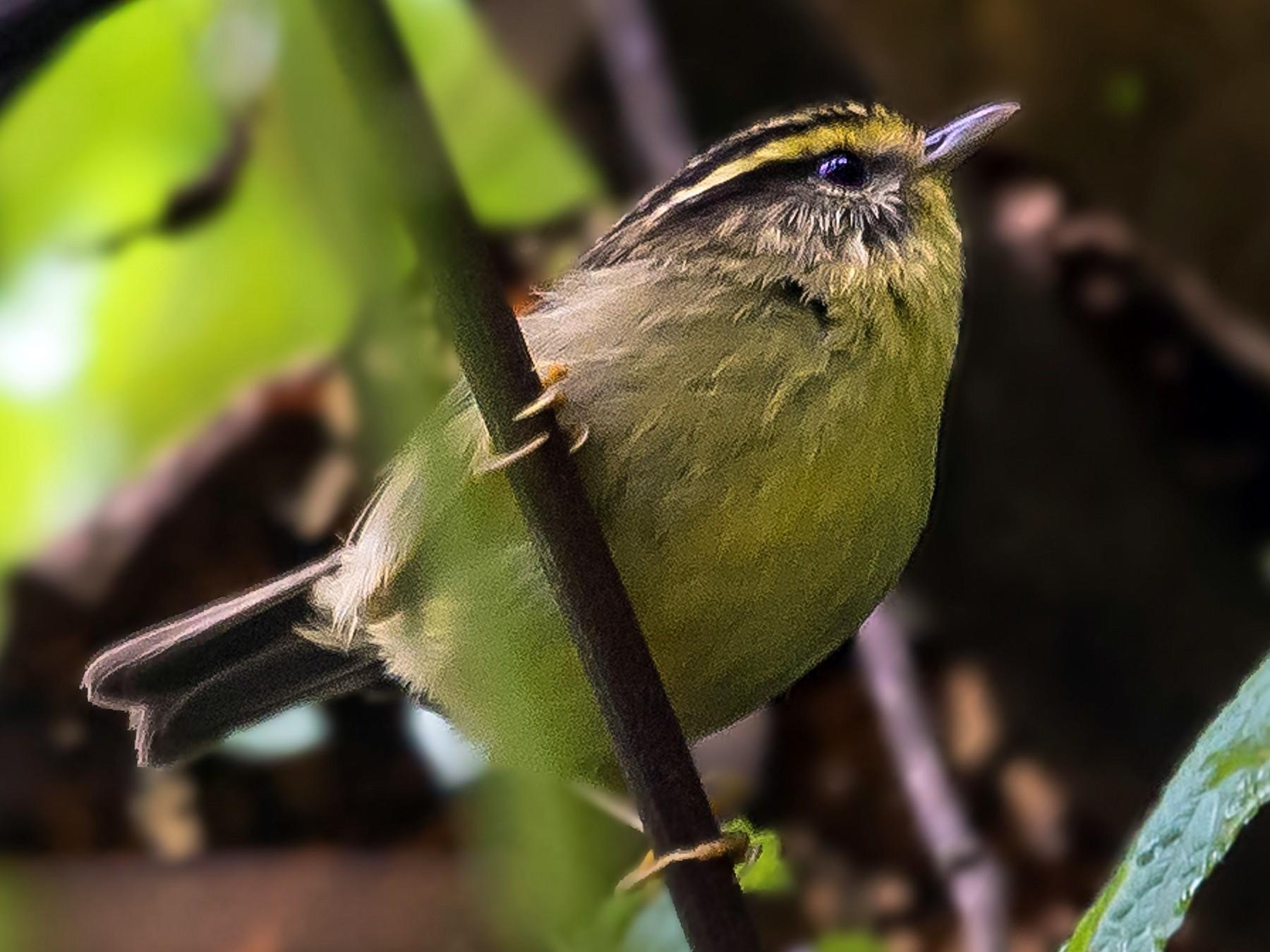 Yellow-throated Fulvetta - Hemant Kirola