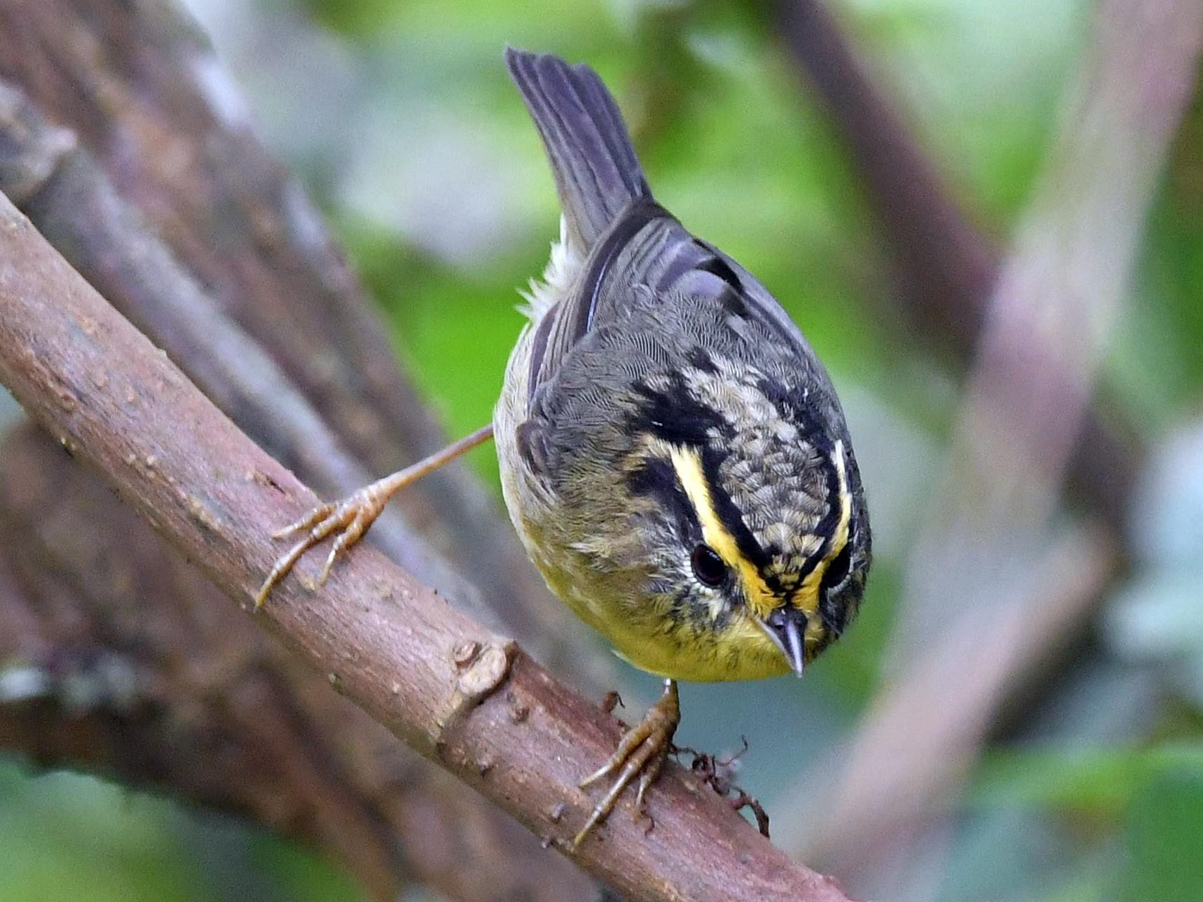 Yellow-throated Fulvetta - Sriram Reddy