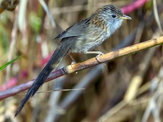 - Rufous-vented Grass Babbler