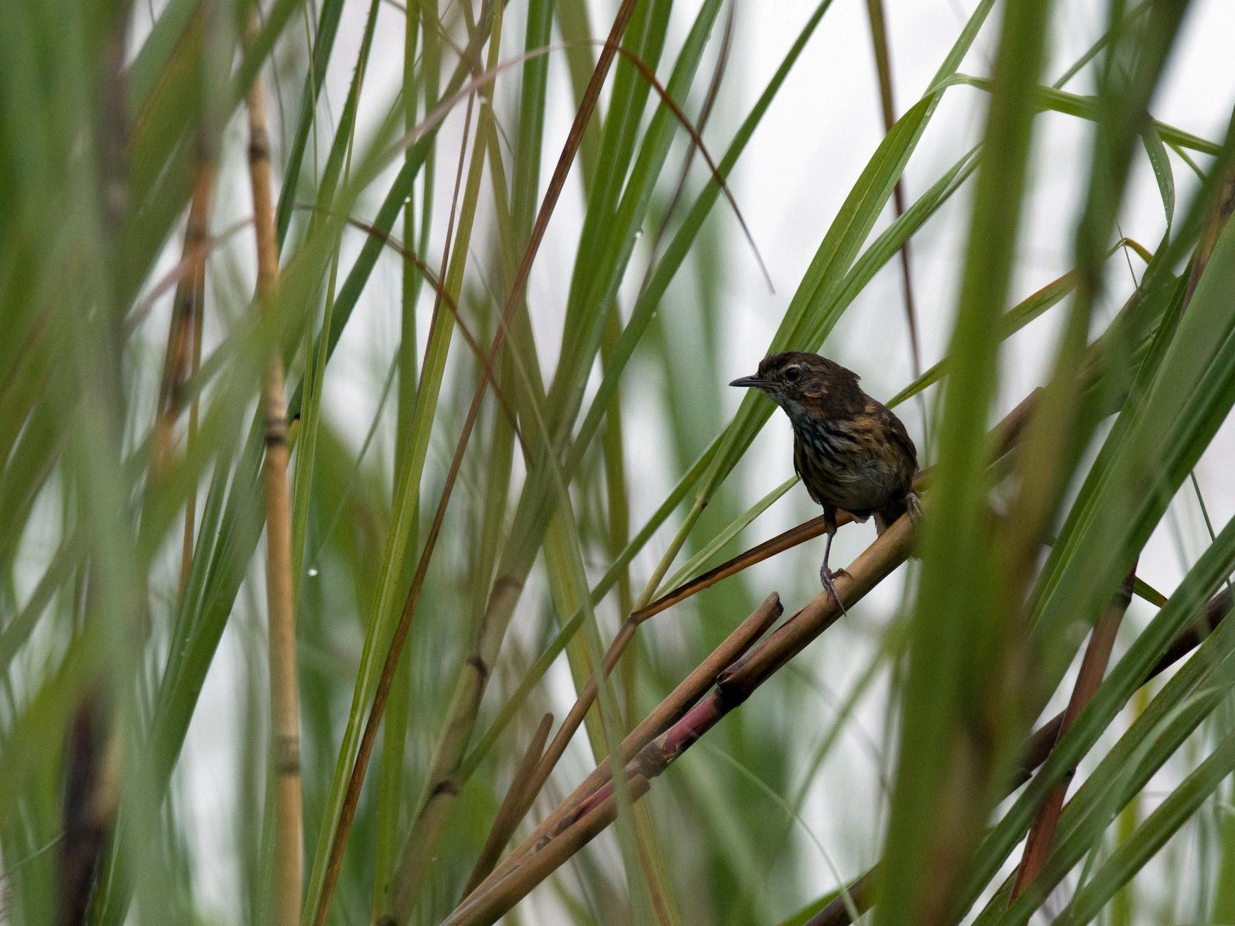 Marsh Babbler - Venkatesh  R