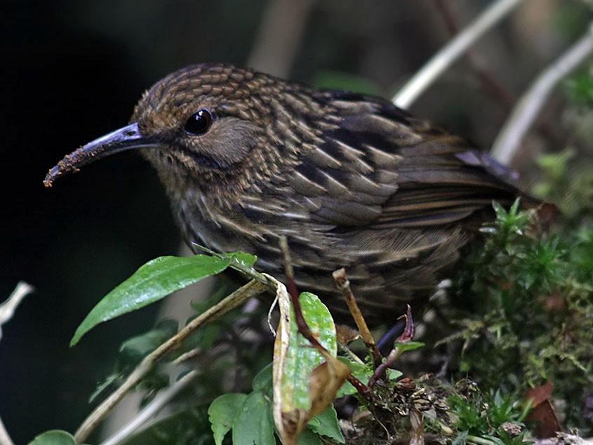 Long-billed Wren-Babbler - Biswapriya Rahut