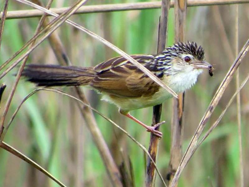 Indian Grassbird - Taksh Sangwan