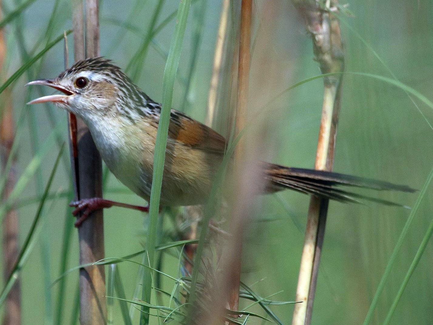 Indian Grassbird - Kaajal Dasgupta