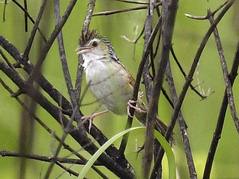 Indian Grassbird - Rofikul Islam