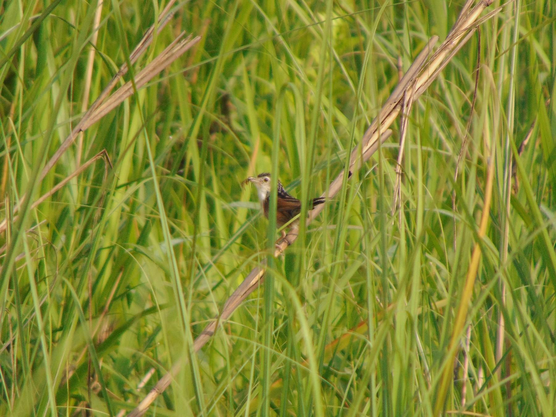 Indian Grassbird - Rustom Basumatary