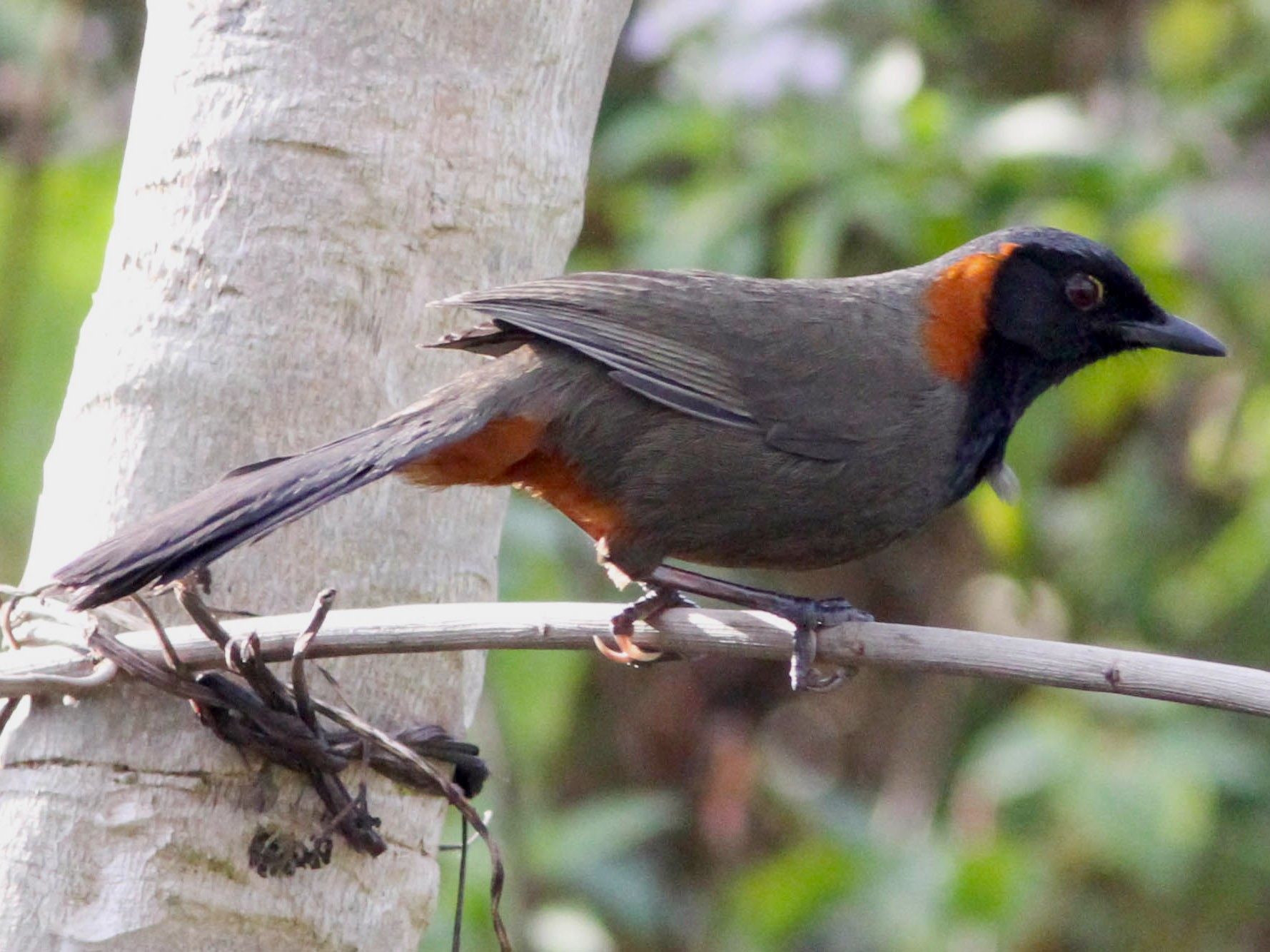 Rufous-necked Laughingthrush - Paul Hyde