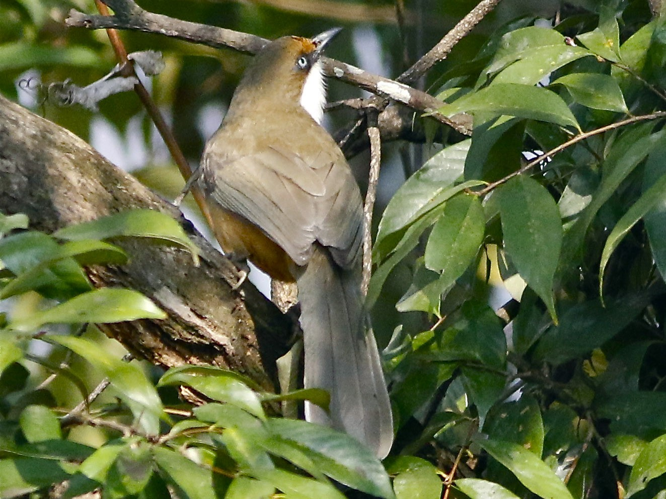 White-throated Laughingthrush - Don Roberson