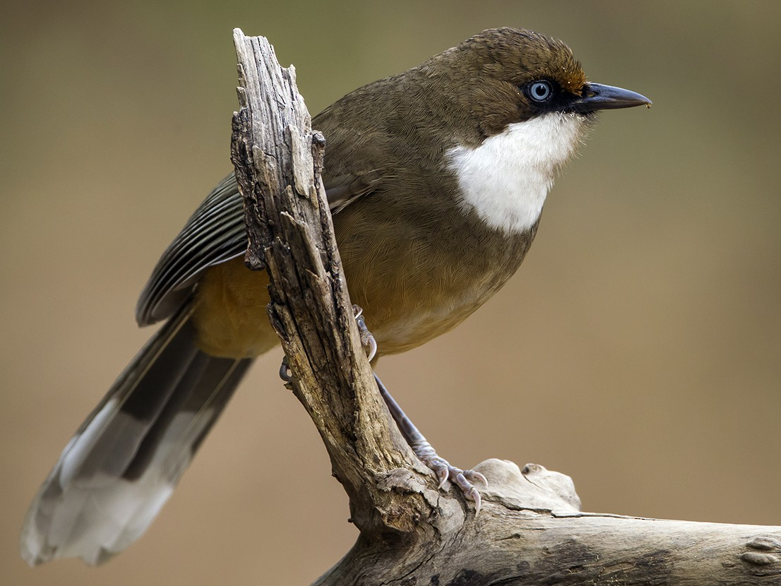 White-throated Laughingthrush - Soar Excursions