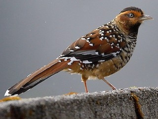 - Spotted Laughingthrush