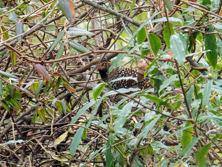 Spotted Laughingthrush - Wich'yanan Limparungpatthanakij