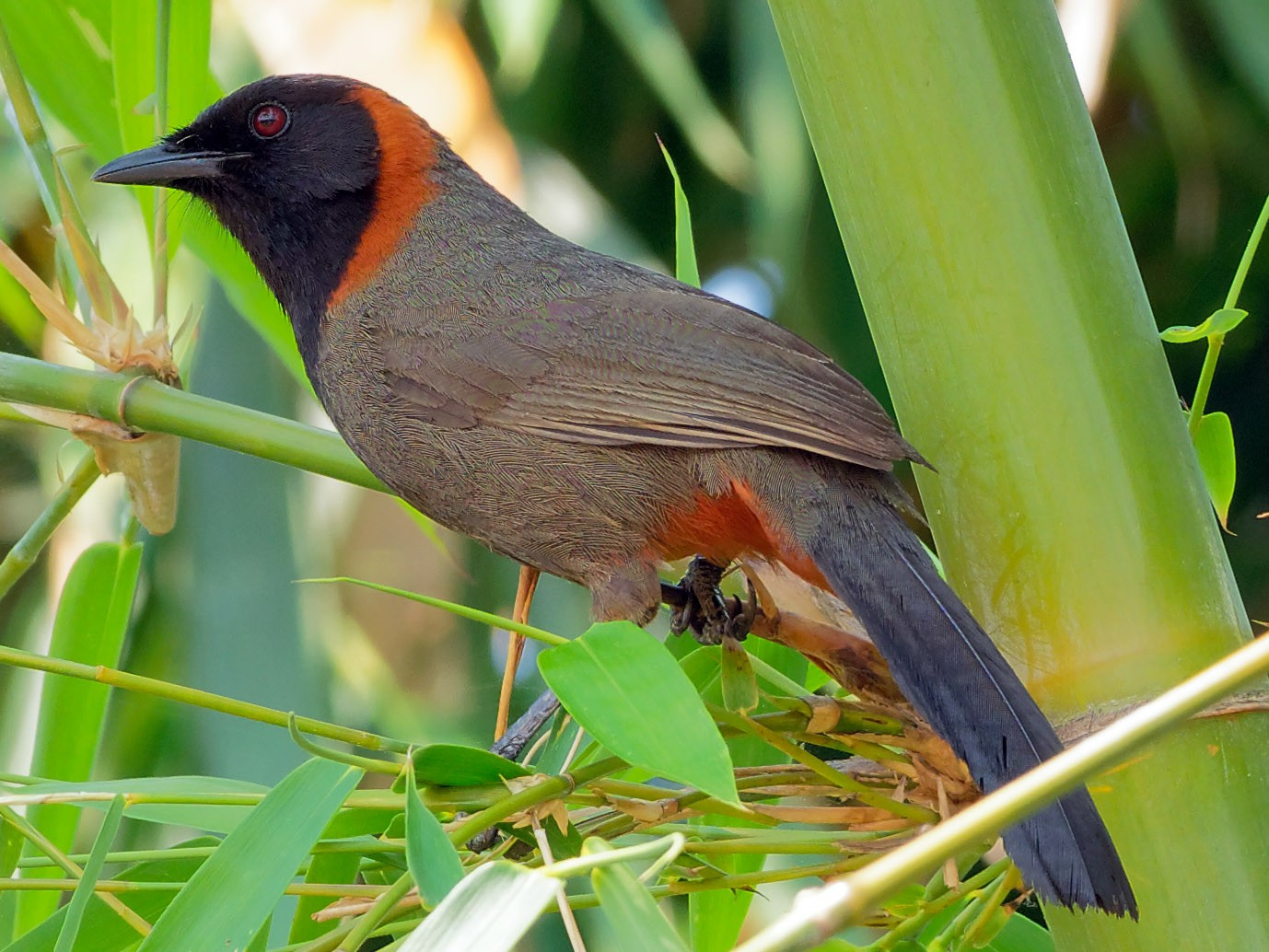 Rufous-necked Laughingthrush - Vincent Wang