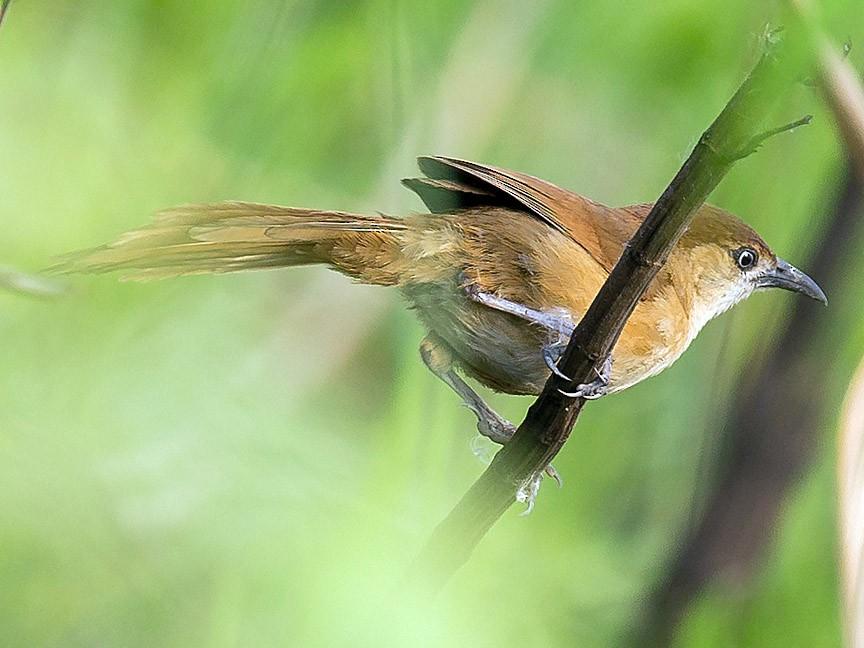 Slender-billed Babbler - Saurabh Sawant