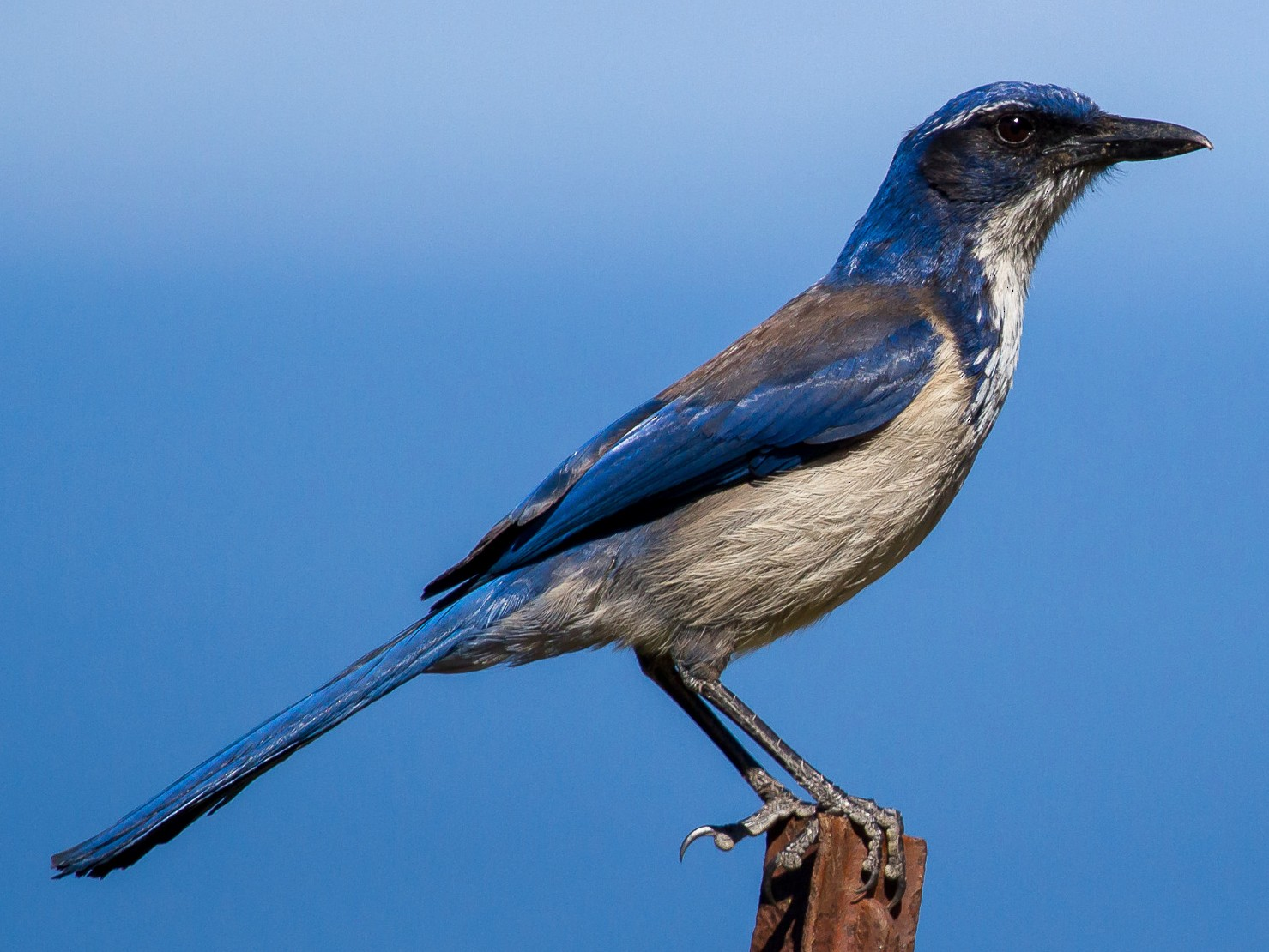 Island Scrub-Jay - David Marques