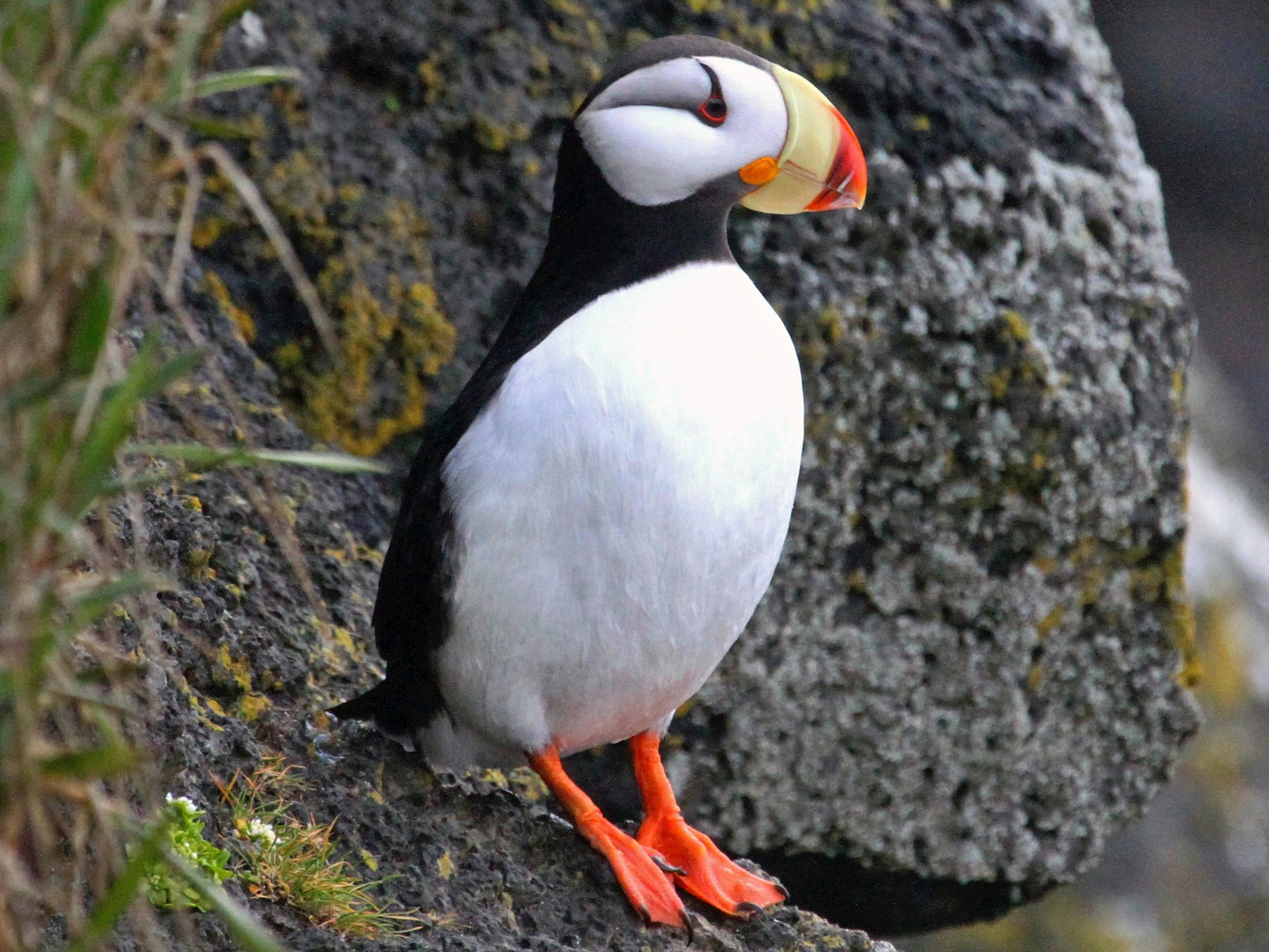 Horned Puffin - Daniel Tinoco