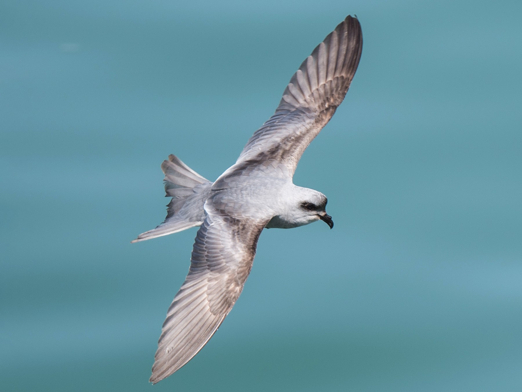Fork-tailed Storm-Petrel - Michael Bolte
