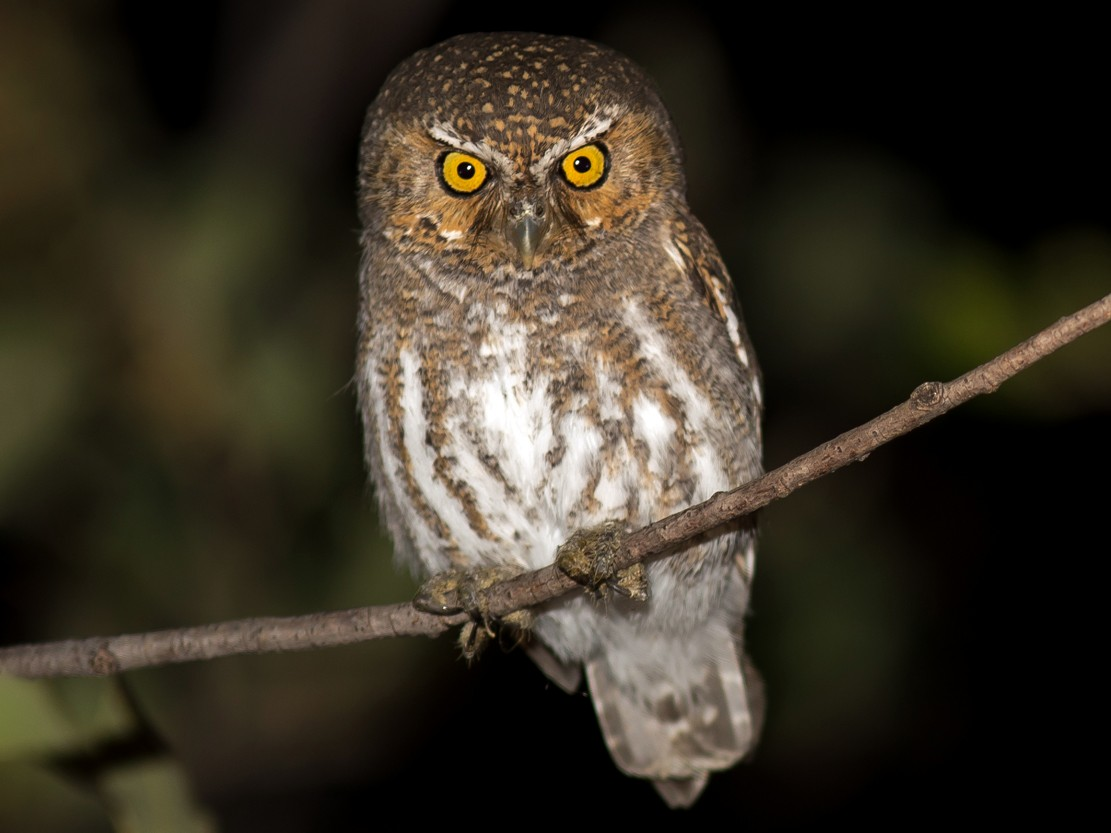 Elf Owl - Kyle Blaney