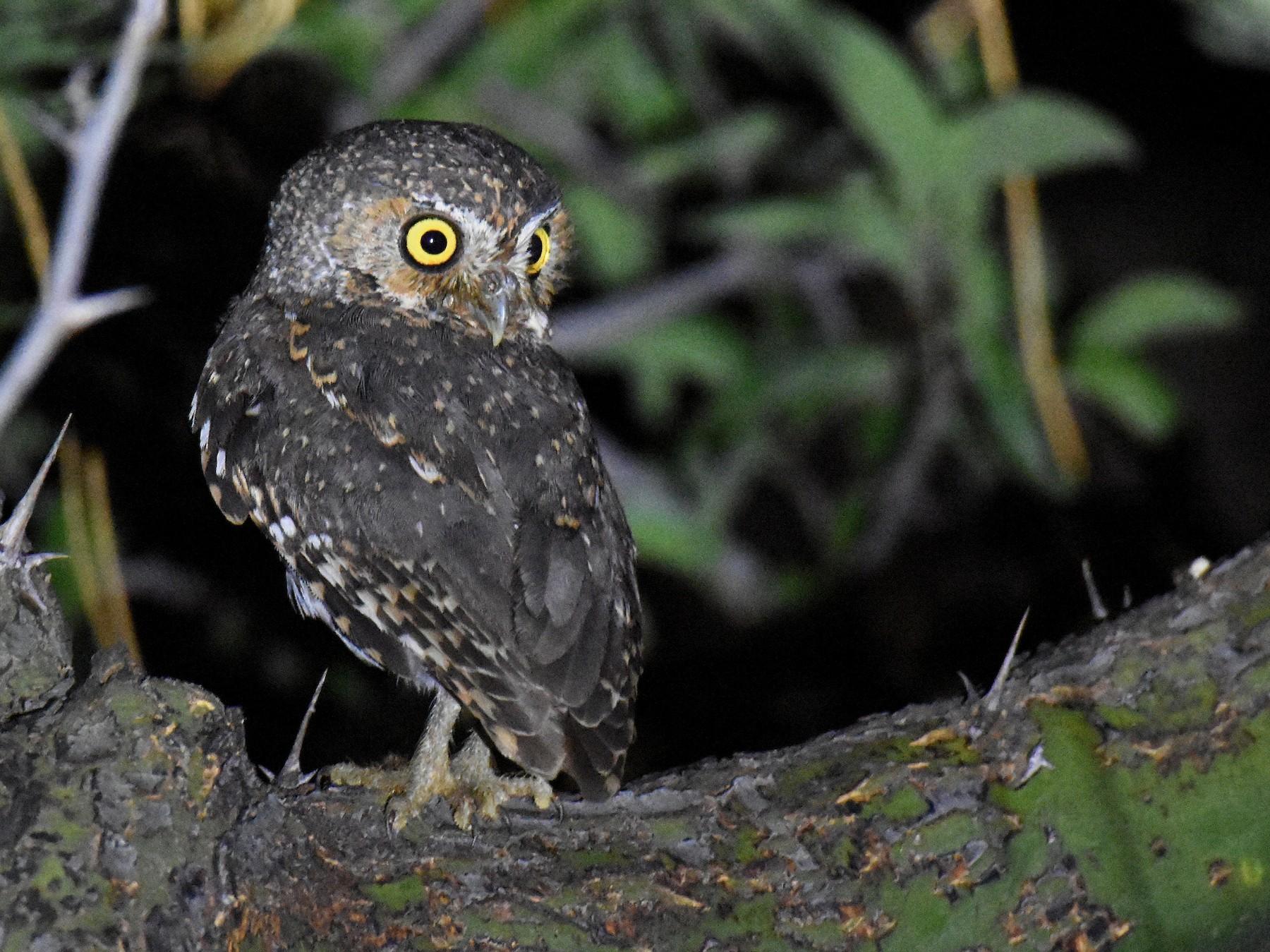 Elf Owl - Jason Vassallo