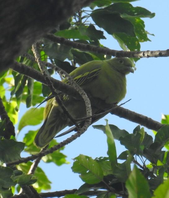 Timor Green-Pigeon