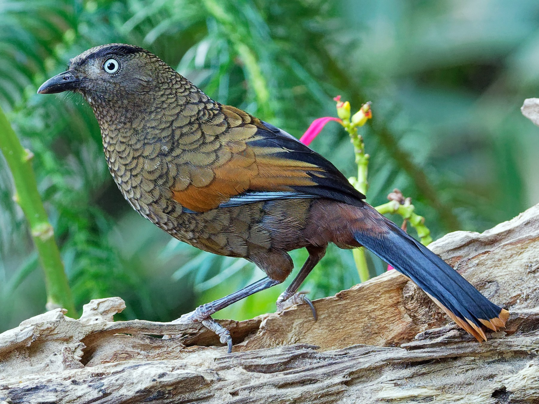 Blue-winged Laughingthrush - Vincent Wang