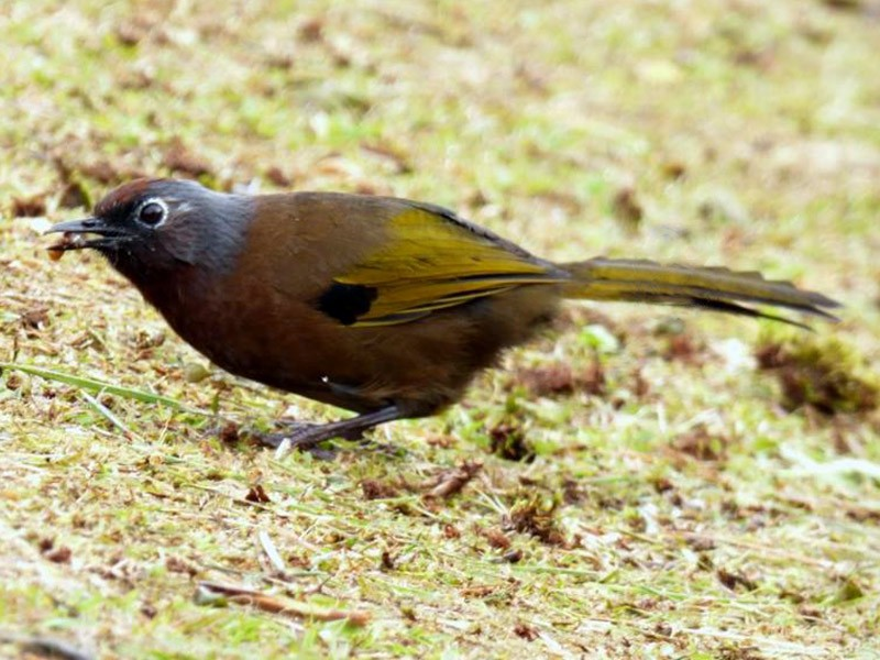 Chestnut-crowned Laughingthrush - Roger Yeoh