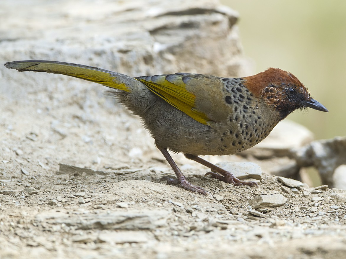Chestnut-crowned Laughingthrush - Soar Excursions