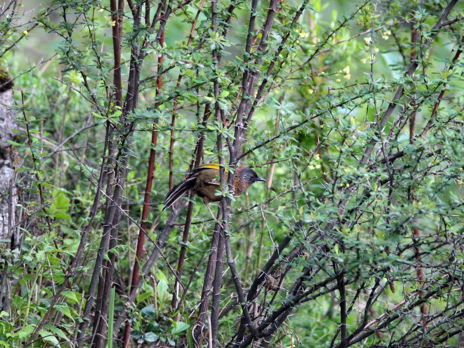 Chestnut-crowned Laughingthrush - Praveen  Kumar