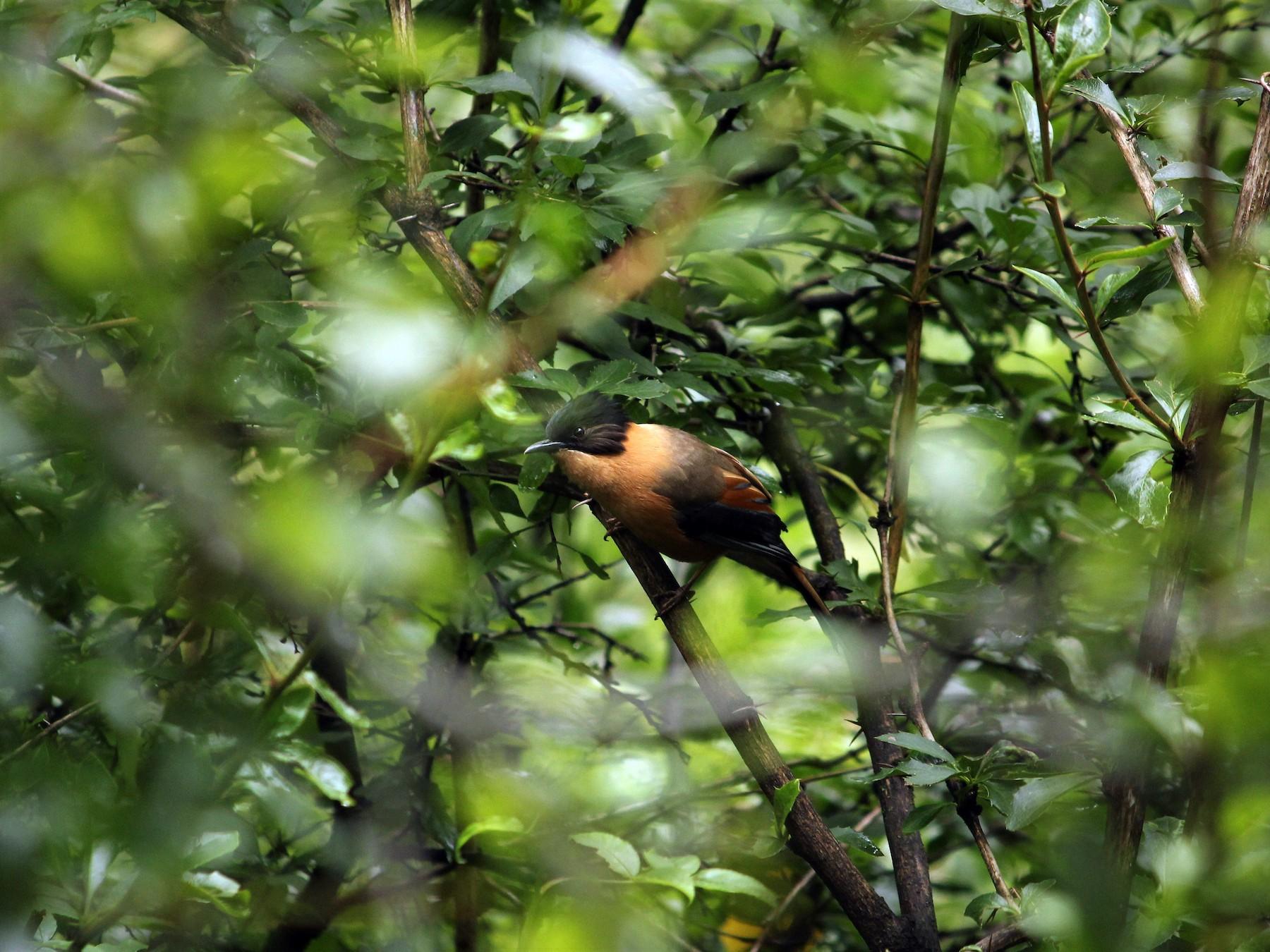 Rufous Sibia - kautuk kamboj