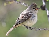Northern Beardless-Tyrannulet