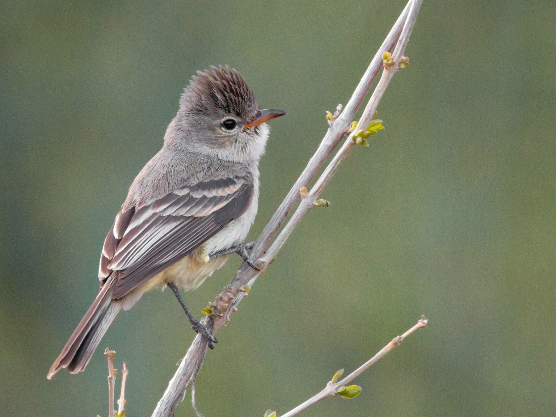 Northern Beardless-Tyrannulet - Tanner Martin