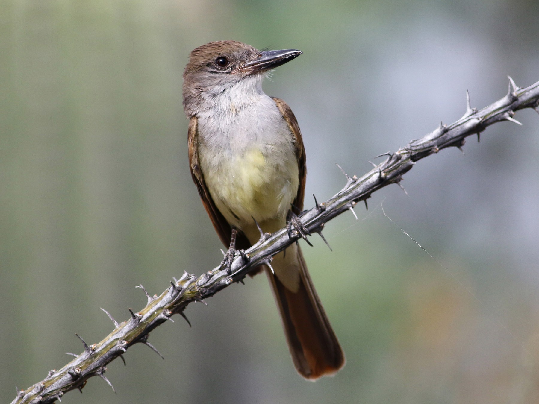 Brown-crested Flycatcher - Max Nootbaar