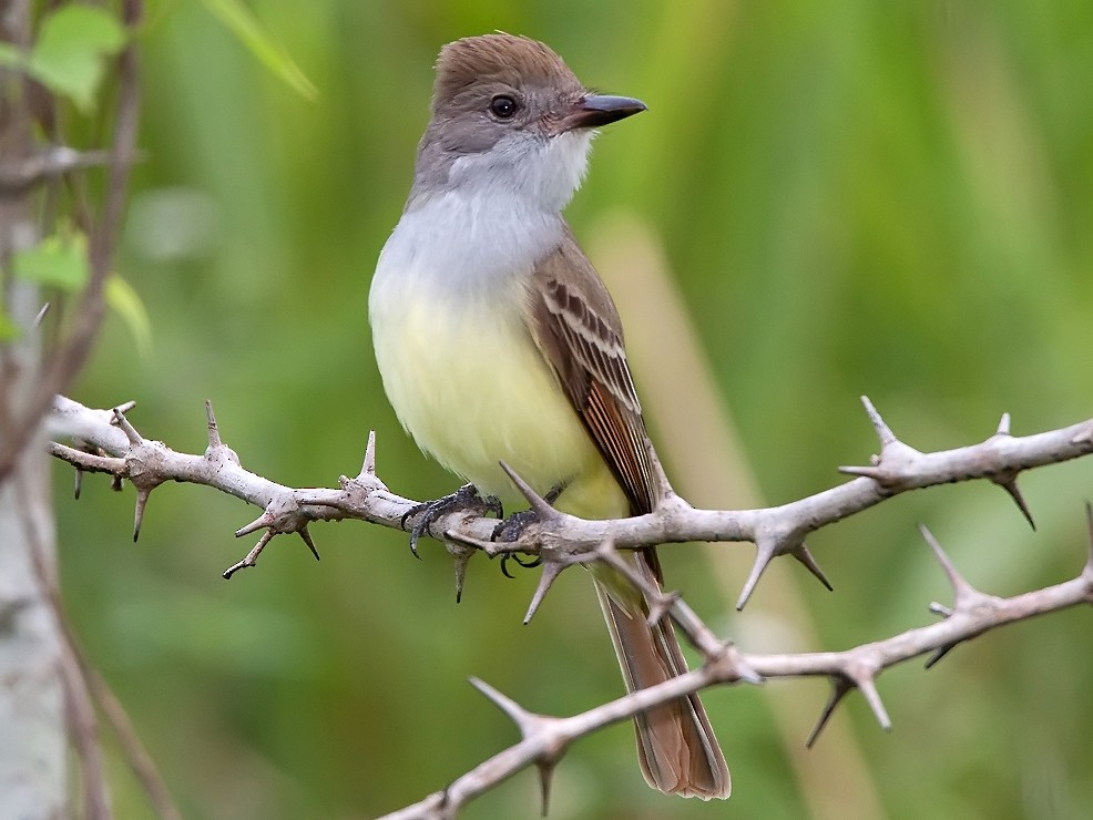 Brown-crested Flycatcher - Ryan Shaw
