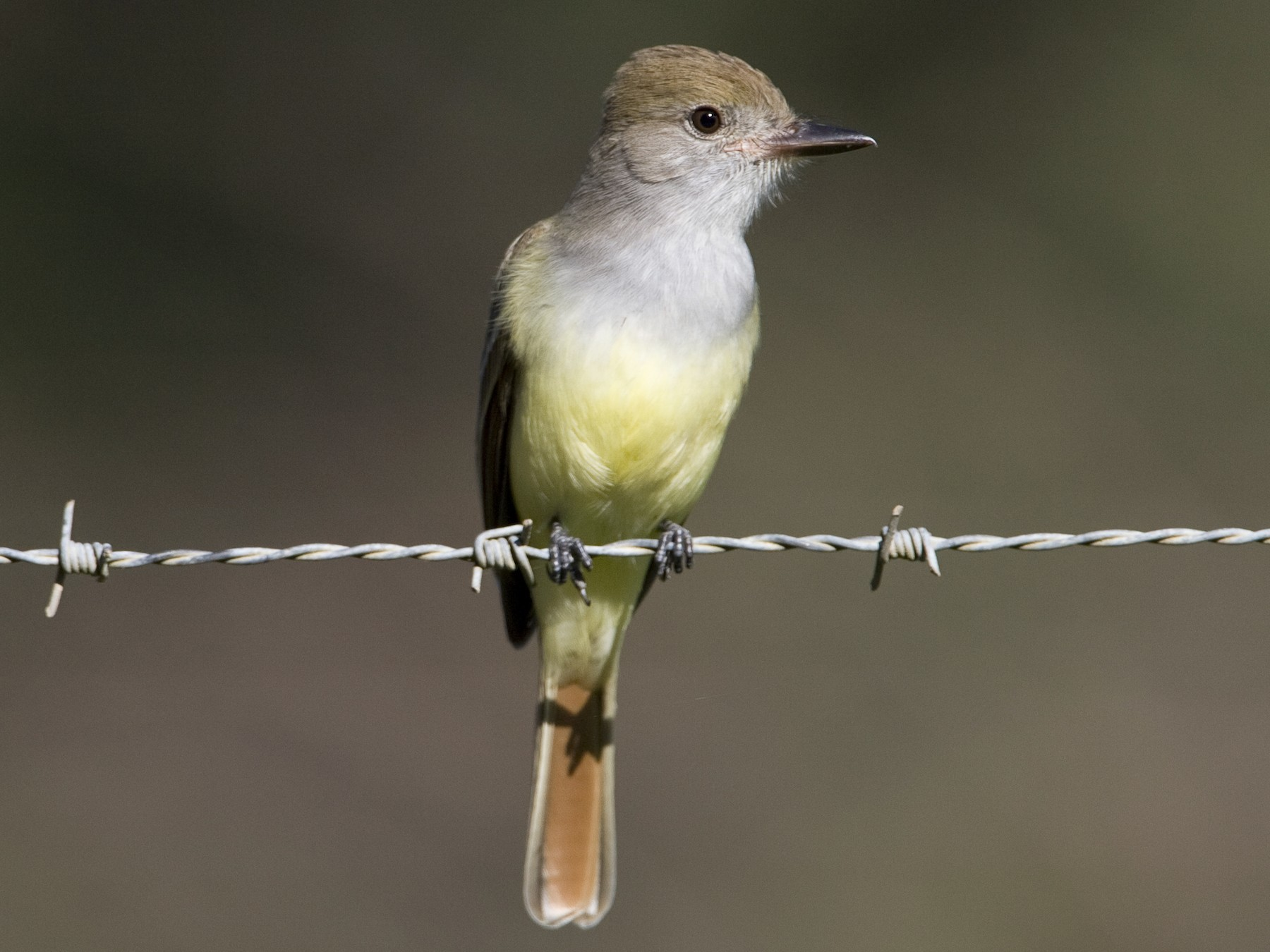 Brown-crested Flycatcher - Brian Sullivan
