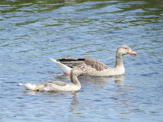 Graylag Goose