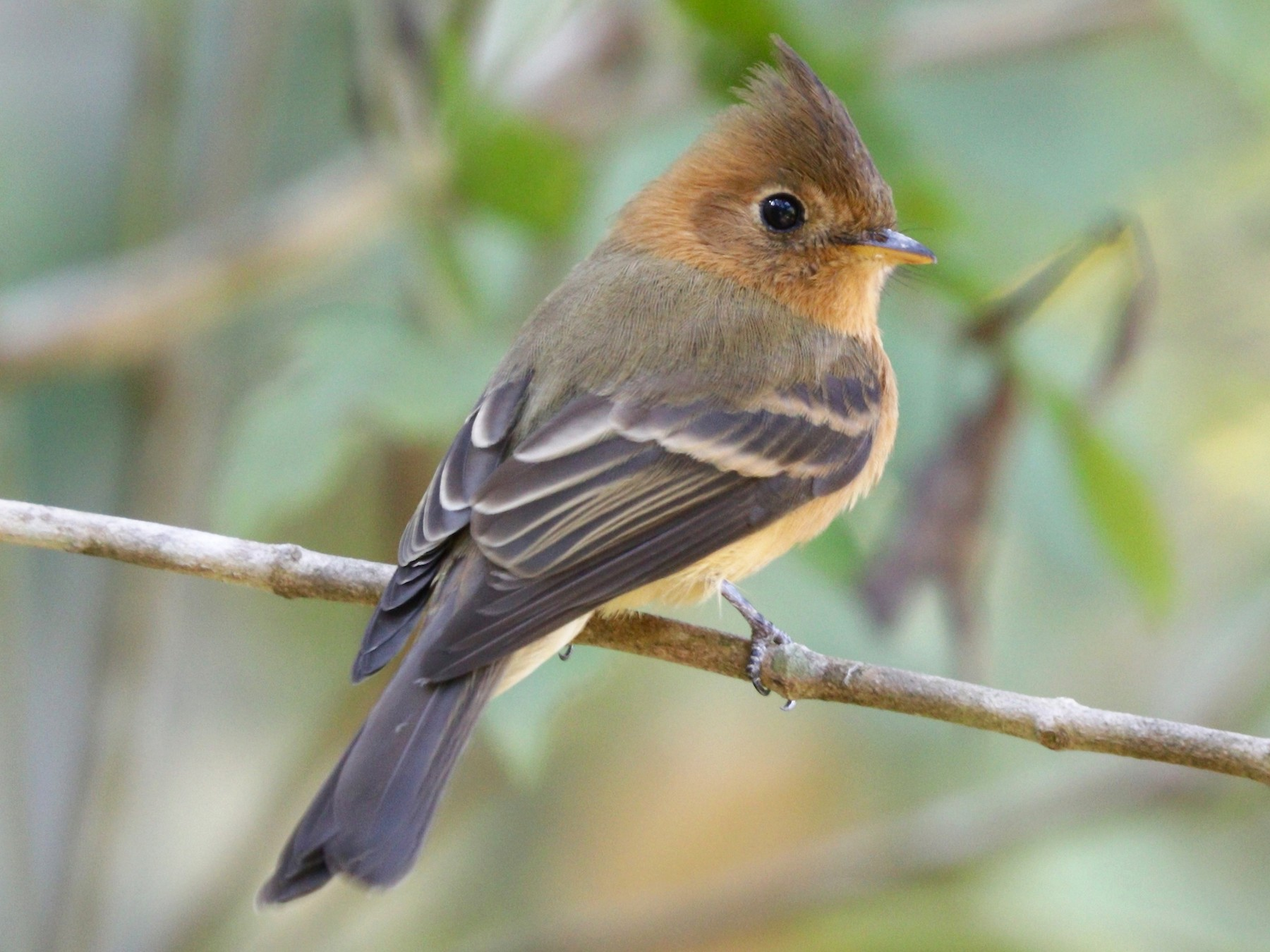 Tufted Flycatcher - Aaron Marshall