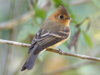 - Tufted Flycatcher