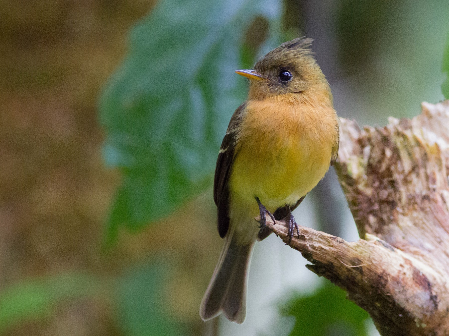 Tufted Flycatcher - Chris Sayers
