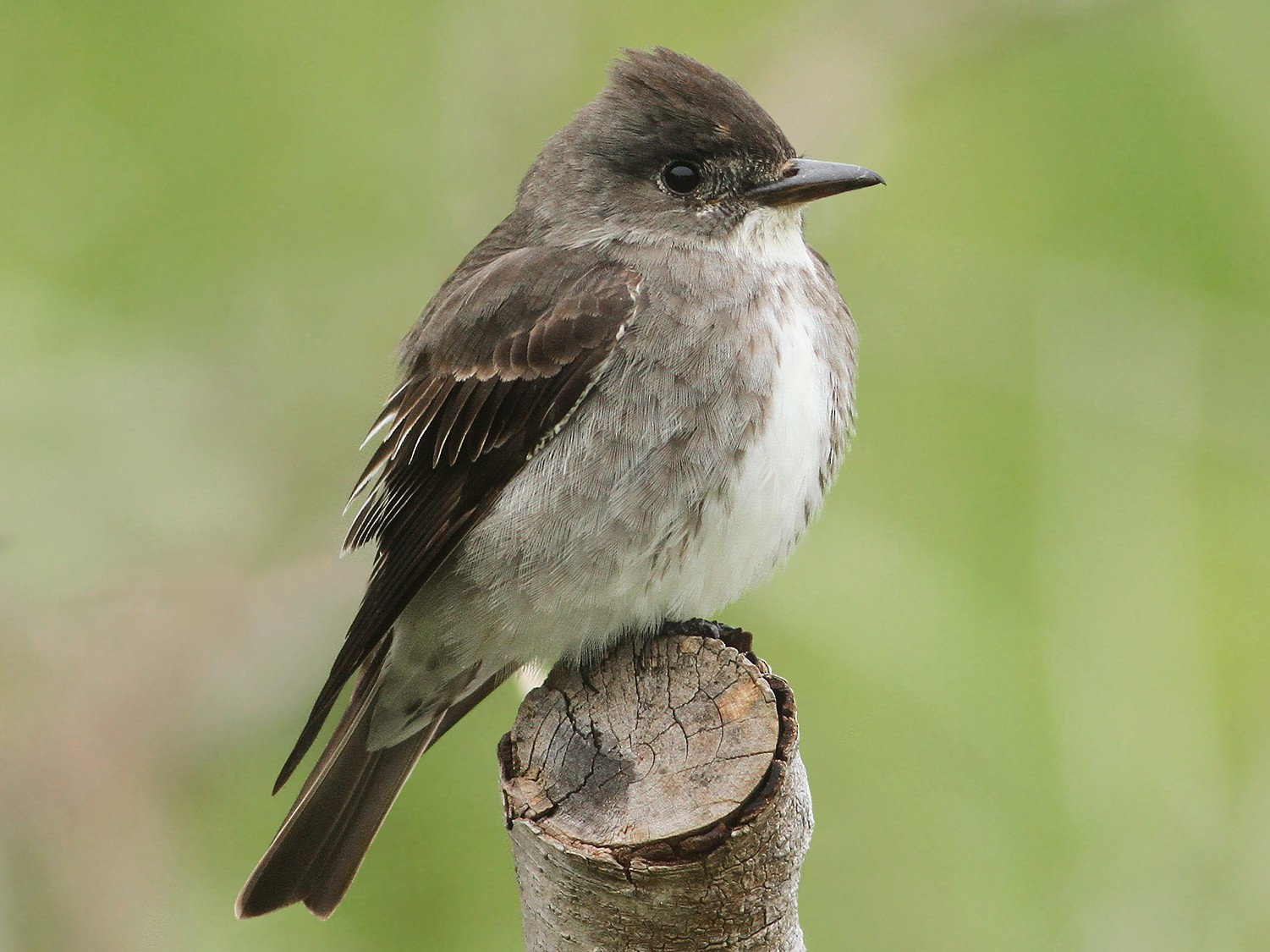 Olive-sided Flycatcher - Jeremiah Trimble