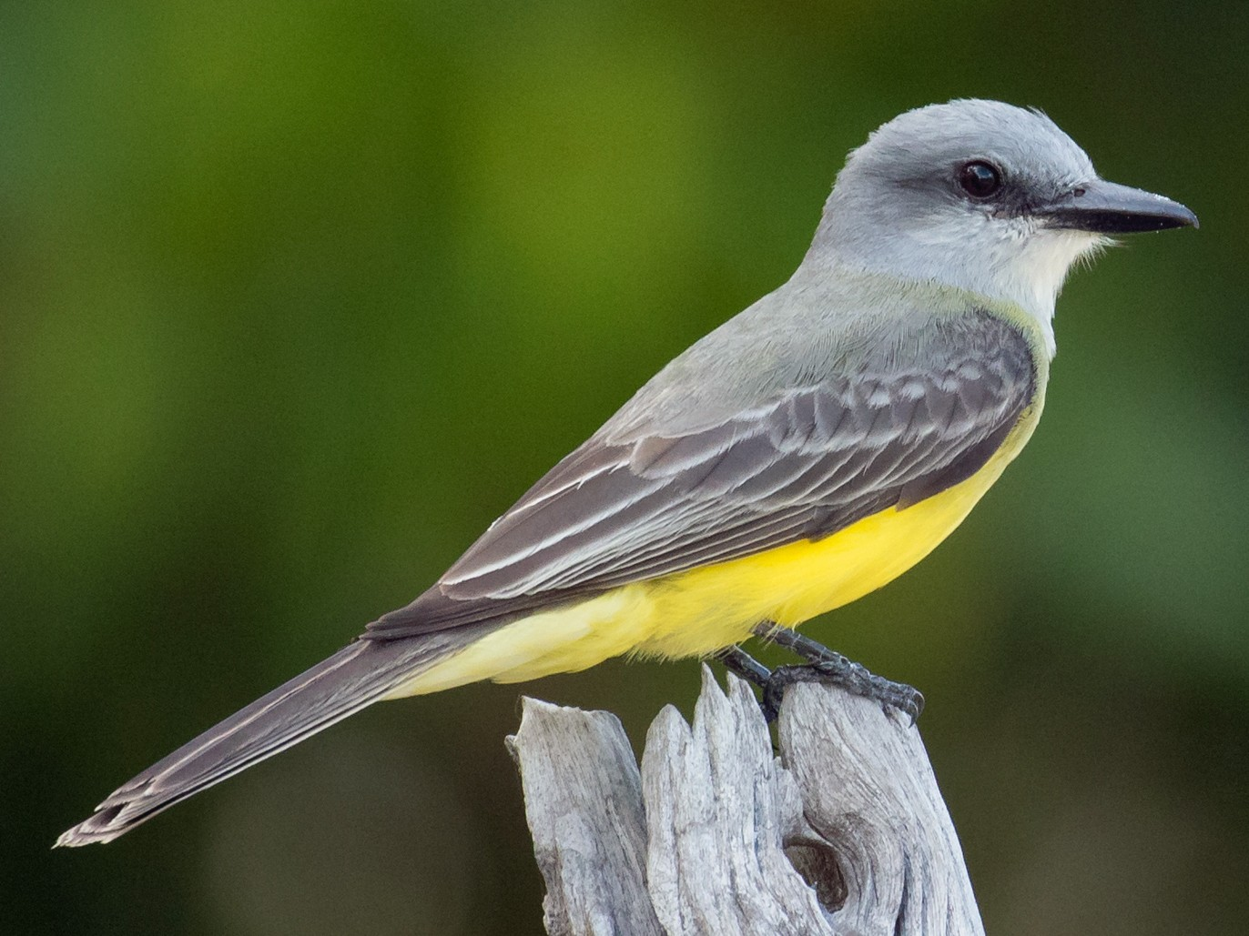 Tropical Kingbird - Brendan Klick