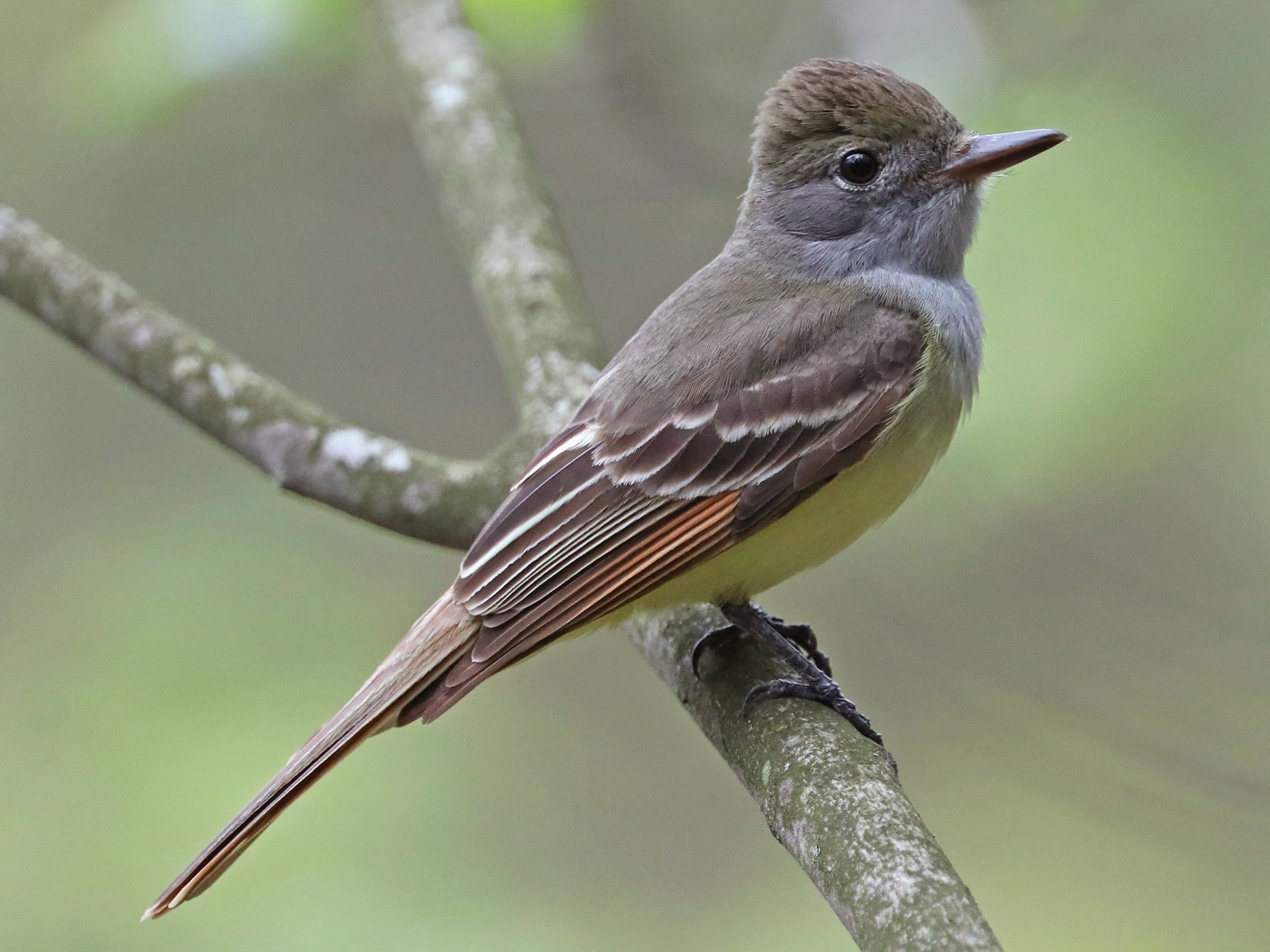 Great Crested Flycatcher - Daniel Jauvin