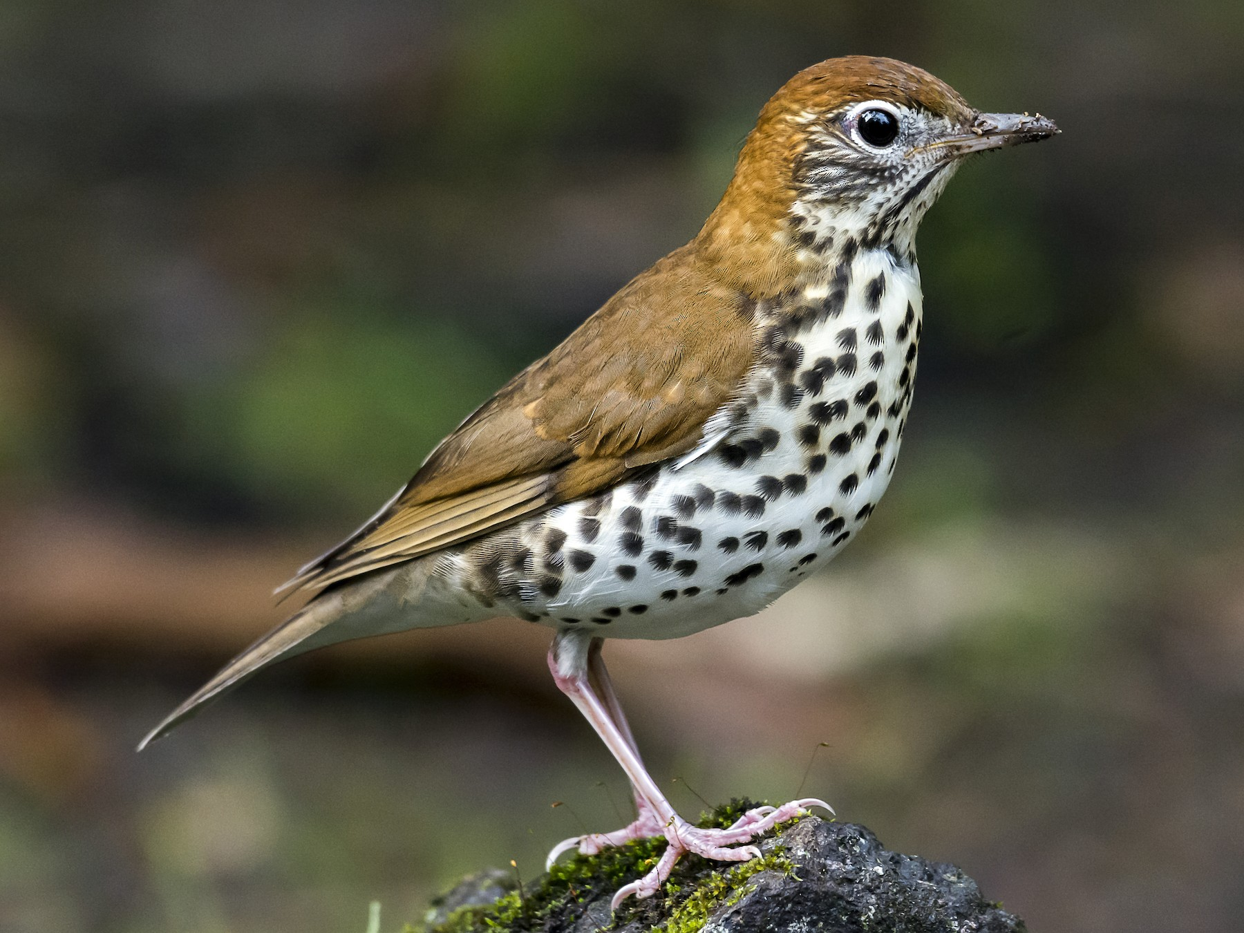 Wood Thrush - fernando Burgalin Sequeria