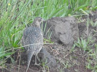Ring-necked Pheasant, ML170926061