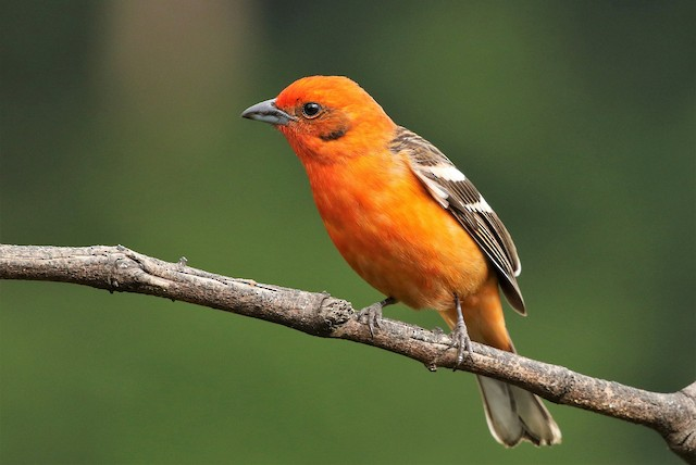 Flame-colored Tanager - eBird